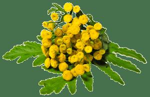 absinthe-plante.png